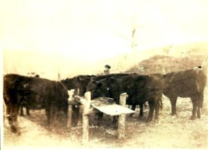 Bill Blum feeding cattle
